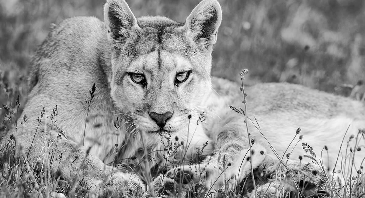 Puma o León de Montaña